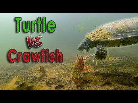 Turtle Vs. Crawfish Underwater BATTLE!!