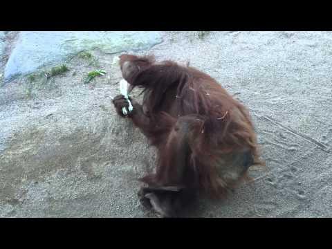 Orangotango rolando...