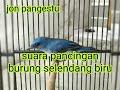 Pancingan Burung Selendang Biru Jitu  Mp3 - Mp4 Download