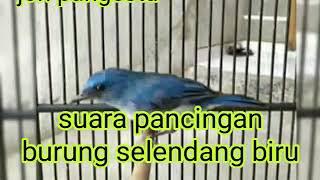 pancingan burung selendang biru jitu