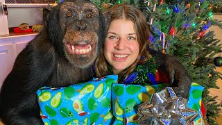 WRAPPING XMAS PRESENTS WITH A CHIMPANZEE | Myrtle Beach Safari