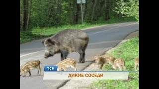 В Перми дикие кабаны терроризируют жителей Средней Курьи