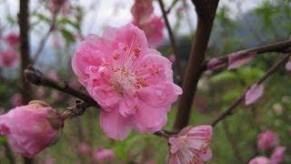 要欣賞杏花非木柵老泉里的杏花林莫屬.一整片杏花林為春天拉開了序幕.註:...