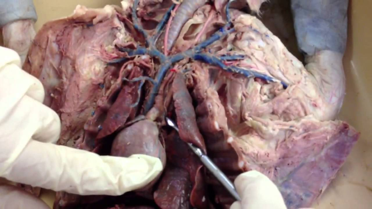 Cat arteries and veins - YouTube