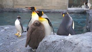 2018年7月30日生まれの雛。親ペンギン以外のペンギンもお世話したくて奪...