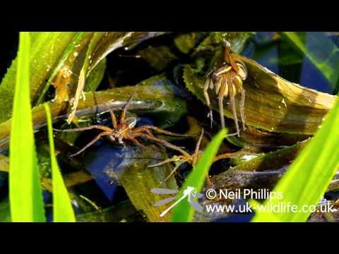 Fen Raft Spider at Suffolk Wildlife Trust Castle Marshes