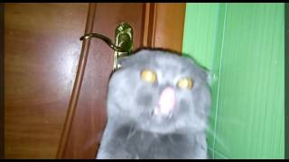 Дрессированный кот шотландский вислоухий