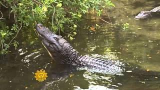 Angry male alligators
