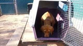 How To Crate Train A Labrador Puppy. Call For A Free Demo 805-400-8309