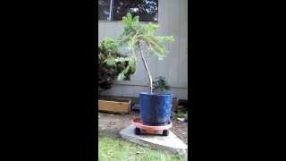 Pre-Bonsai Eastern Hemlock #3 Yamadori (Tsuga Canadensis)
