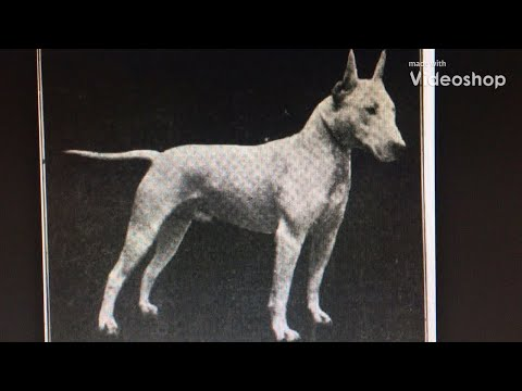 LITTLE HISTORY OF WHITE TERRIER, BLACK AND TAN TERRIER, BULL TERRIER, ORIGINAL OLD ENGLISH BULLDOGS