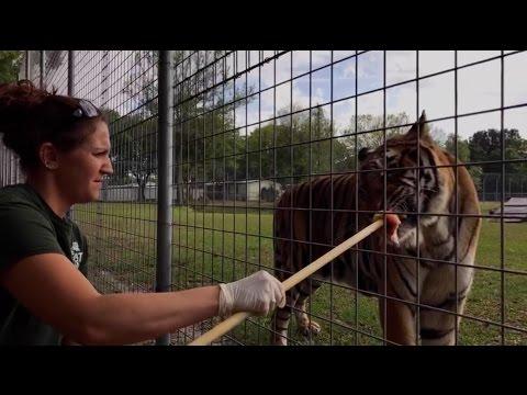 Evening Meds and Big Cat Feeding w/ Afton 4 26 17