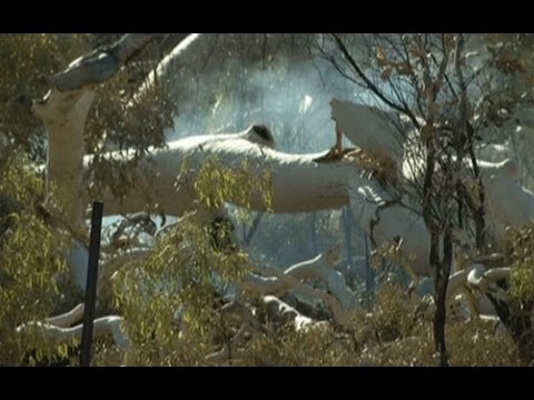 'Ghost Gum' Trees Made Famous By Artist Lie Smouldering