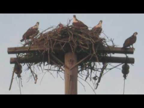 Osprey, Hanson's Landing, South Kingstown RI