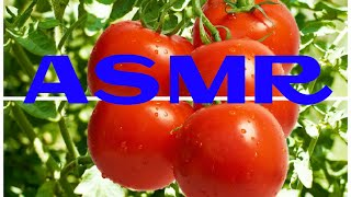 ASMR The benefits and harms of juicy fruits of tomato