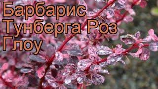 видео Барбарис Тунберга Red Chief