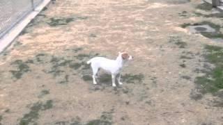 Irma - 1 Y/o Dachshund X Jack Russell Terrier
