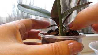 Отделение и посадка детки орхидеи Phalaenopsis Mini   21.11.2013(Детке 5 месяцев. Пересаживала 21.11.2013., 2013-11-30T19:05:21.000Z)