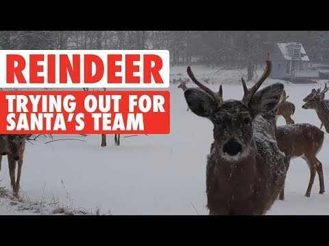 Reindeer Video Compilation 2017 | Santa's Sleigh Team