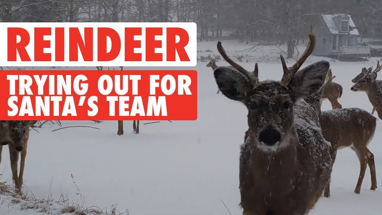 Funny Reindeer Meme : Reindeer video compilation 2017 santa's sleigh team youtube