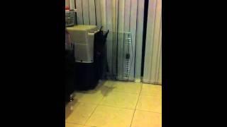 Doberman Obedience Training Crate Training. 12 Month Doberm
