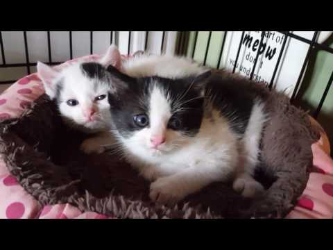 Hissing 4 week old kittens Archie and Edith Bunker
