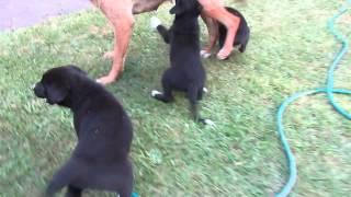 Hunterway x heading dog pups