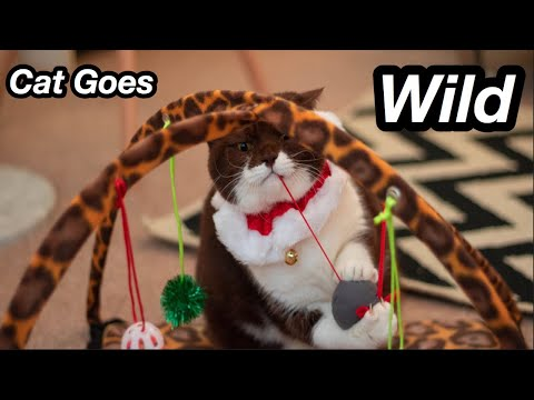 Cute Chocolate & White British Shorthair Cat Playing 2019