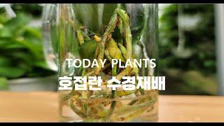 호접란 수경재배하기