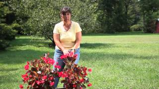 How to Compost Begonias : Begonias