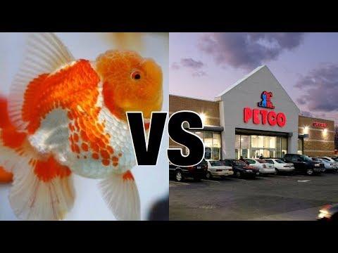 Petco Goldfish Vs Show Quality