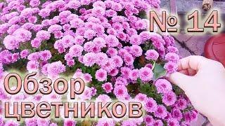 Обзор цветников №14 (21.10.2018). Хризантемы мультифлора
