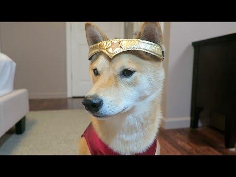 Shiba Inu dresses up as Wonder Woman / Dog!