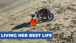 Disabled Dog Enjoys Playing Frisbee At The Beach