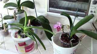 How Do I Water My Orchids?