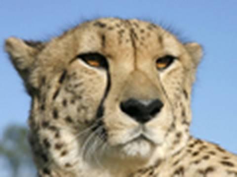 Cheetah Facts | Big Cat Rescue