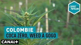 Colombie : Coca zéro, weed à gogo - L'Effet Papillon - CANAL+