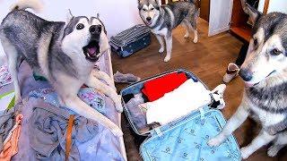 Хаски не отпускает в поездку и не даёт собрать чемодан хозяина