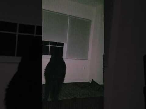 Simon The Newfoundland Dog - Protecting the House at Night (Barking)