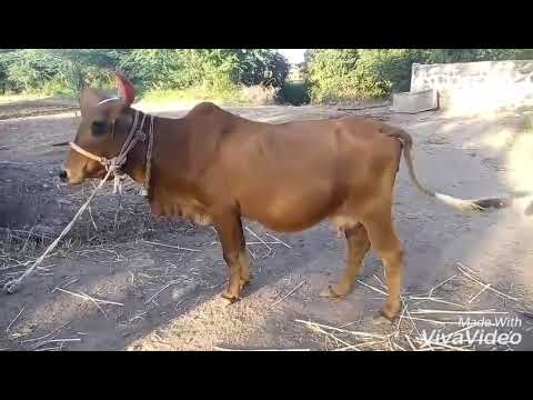 Desi cow gives 10 litres of milk a day thumbnail