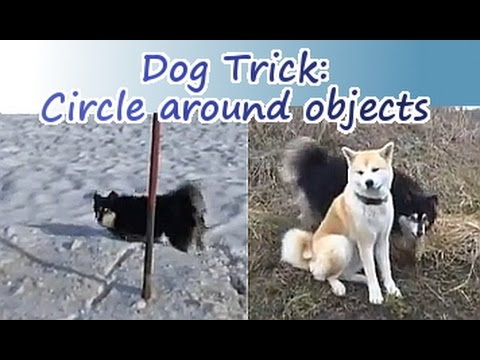 dog trick: Circle Around Objects with Lapphund & Akita Inu
