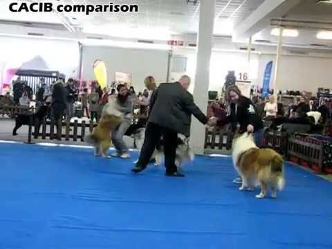 CACIB Nitra Rough Collies 28.02.2015 Dog Show