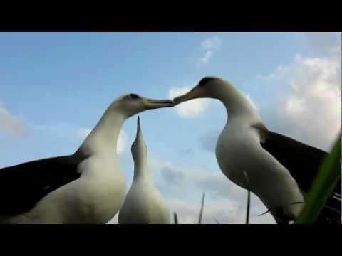 Laysan Albatross Dancing, Midway Atoll