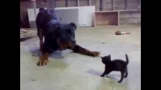 Маленький котенок защищается от ротвейлера