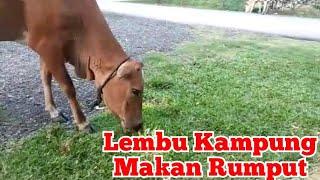 Kumpulan Lembu Kampung Makan Rumput Di Tepi Rumah