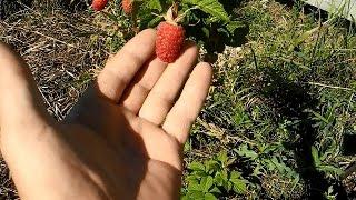 Малина,размножаем семенами(В этом видео показан способ,как размножить ценный сорт кустов малины семенами,полученными из ягод. Все..., 2015-07-28T19:34:54.000Z)