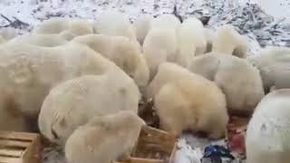 белые медведи на помойке