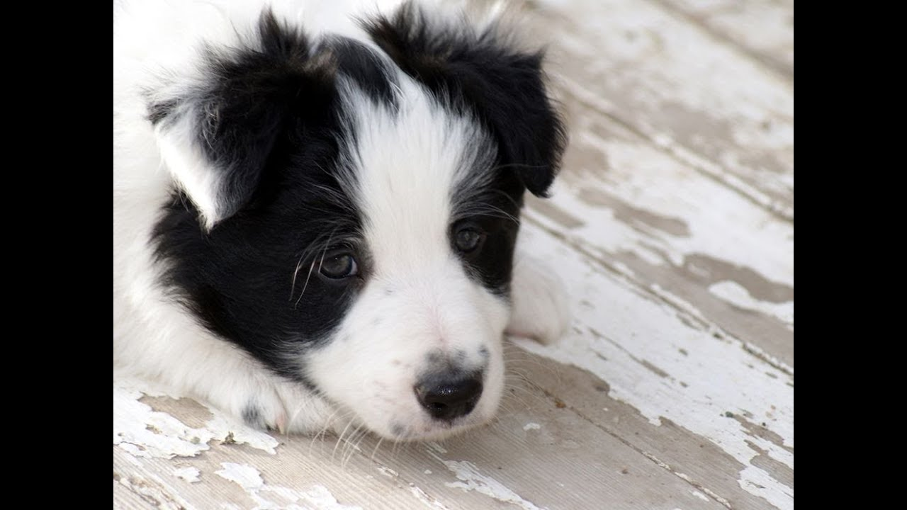 Border Collie, Puppies, Dogs, For Sale, In Nashville ...