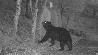 Black Bear Visits Bird Feeders