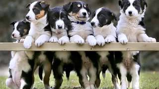 Border Collie Dogs | Dog Breed Border Collie Set Of Cute Pictures